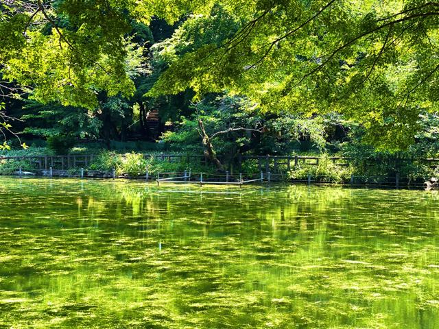 井の頭公園のモネの睡蓮